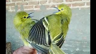 Bukan untuk Didengar | suara pikat/masteran Burung Sirtu/Cipoh 1 jam full liaran bakal nyaut