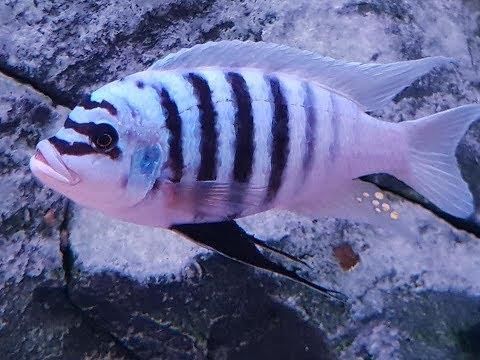 Metriaclima Zebra Chilumba Maisoni Reef One Of The Best Looking Mbuna Cichlid Of Lake Malawi.