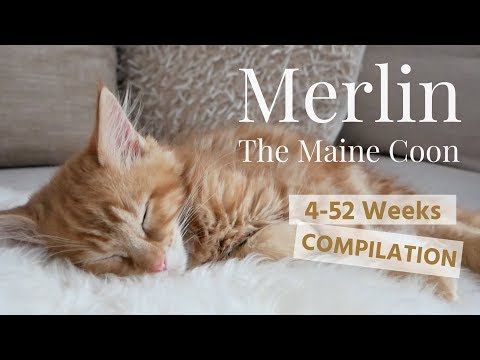 Merlin the Maine Coon - 4-52 WEEKS COMPILATION