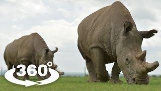 NOSOROŻEC BIAŁY (WHITE RHINOCEROS) - ZOO CHORZÓW 360° (VR)