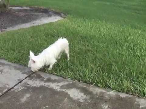 "ALBINO SILKY TERRIER ""BELLA""  WHAT'S WRONG"