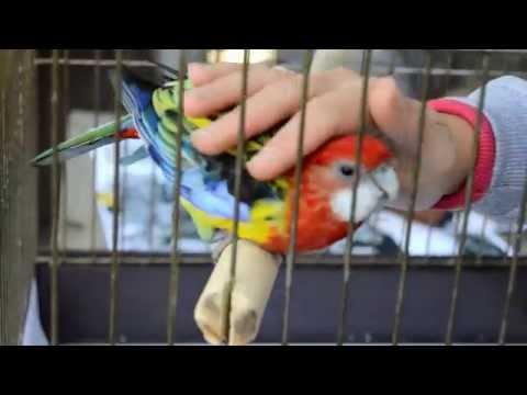 Ручная Розелла любит когда ее гладят   Попугай   Rosella Parrot