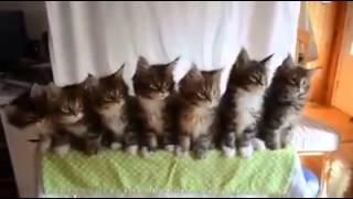 Котята танцуют под песньу  вигу вигу