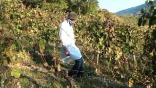 The piaver's -Le Beaujolais Nouveau-