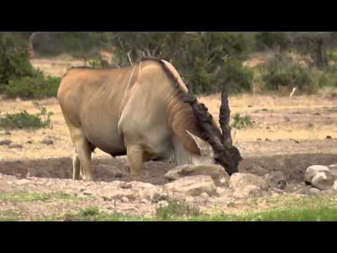 Bull Eland, Coming To Drink