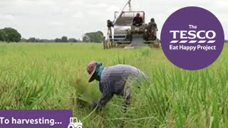 Remarkable Rice With Experts From The Netherlands And Thailand