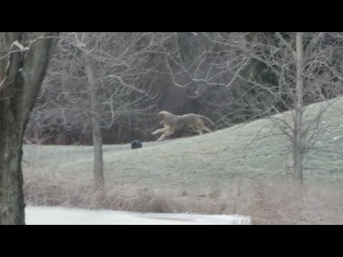 A coyote playing with a ball in my yard