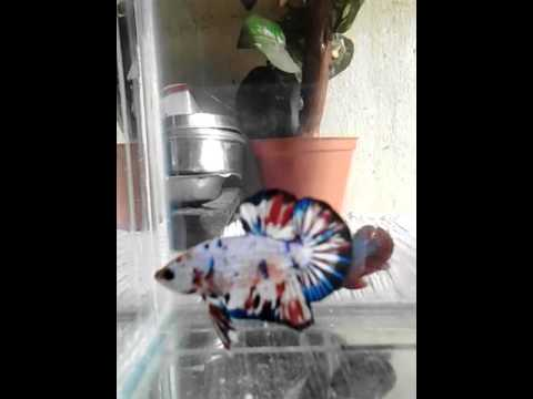 Betta ikan cupang plakat fancy koi - YouTube