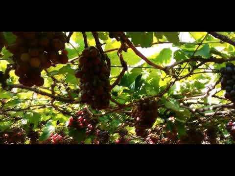 Miracles of Nature- Luscious Grapes-yard of South India