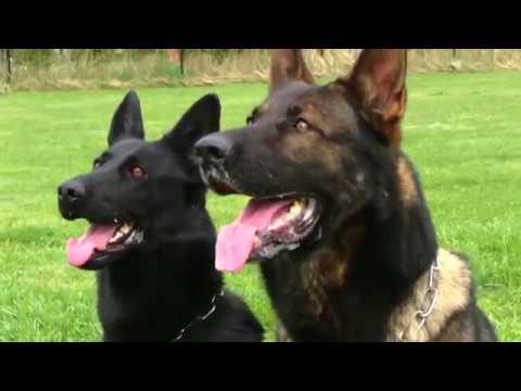 Kraftwerk K9 German Shepherd dogs working in unison!