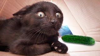 Кошки против огурцов