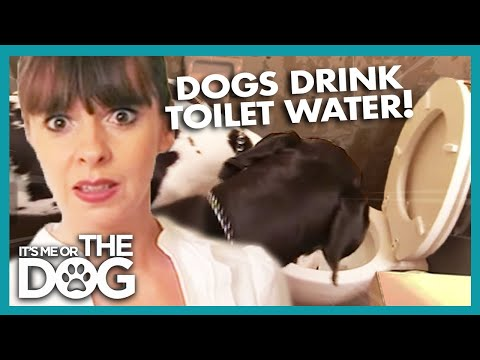 Is Toilet Water Safe For Dogs To Drink? | It's Me Or The Dog