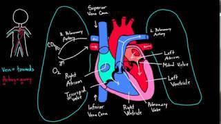 Sinh lý hệ Tuần Hoàn - Sự lưu thông của máu qua các buồng tim