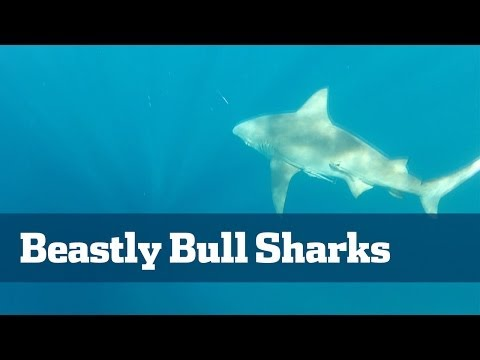 Bull Sharks; How To Catch Monster Bull Sharks