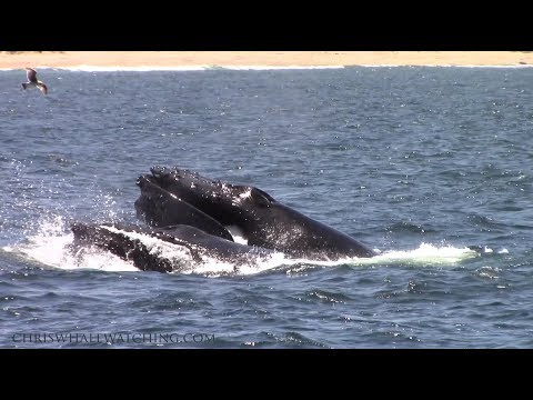6.10.17 Humpback Whales, Northern right whale Dolphin, Risso's Dolphin & Ocean Sunfish #Monterey