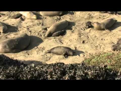 Los Angeles Times Video ~ The Piedras Blancas Elephant Seal Rookery
