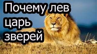 Почему льва называют царем зверей.