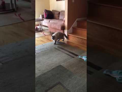 Ragdoll cat Lana retrieving her toy
