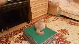 Весёлые,играющие коты:) британцы(голубой и лиловый)