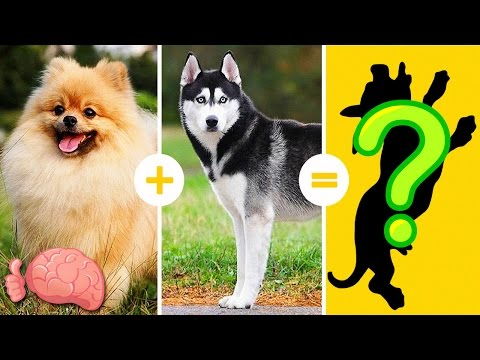 20 Increíbles Cruzas De Razas De Perros Que NO CONOCÍAS