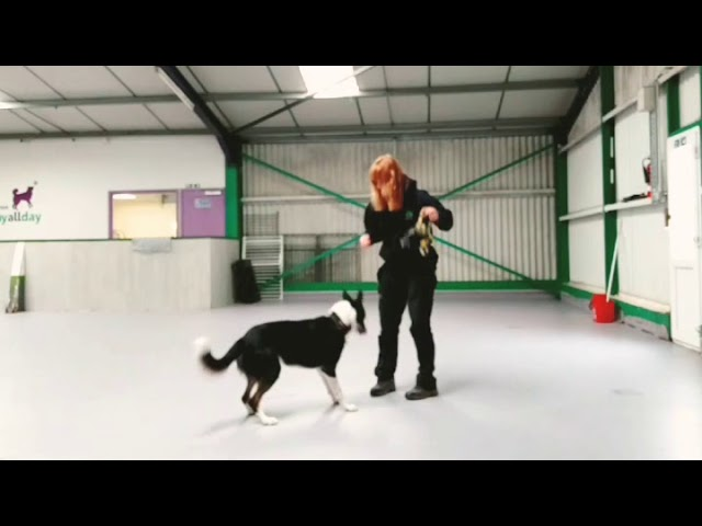 Playing with anxious Border Collie