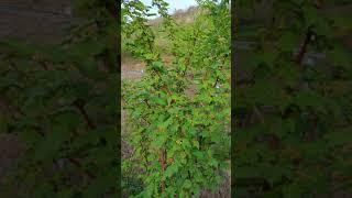 블랙베리[서양산딸기.슈퍼복분자].두릅나무.산딸기.엄나무…