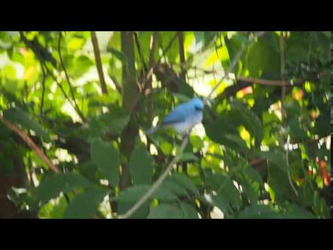 P1119886   Turkooiskuifvliegenvanger bij The Haven campsite
