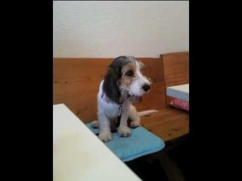 Petit Basset Griffon Vandeen Puppy(プチバセ)