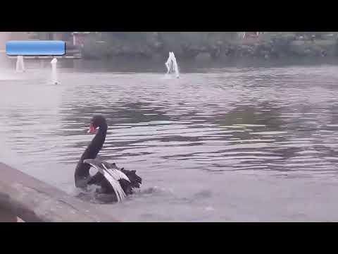 Eddie & Rocky - VIDEO: When Swans Attack!!