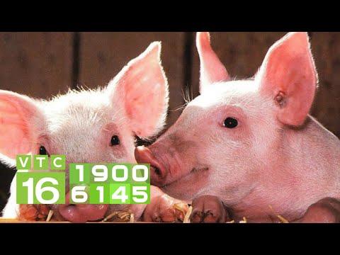 Giá lợn hơi giảm mạnh, cuối năm thịt lợn không khan hiếm | VTC16