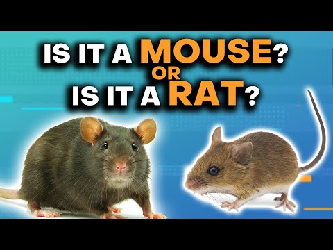 Mice & Rats: What's The Difference?