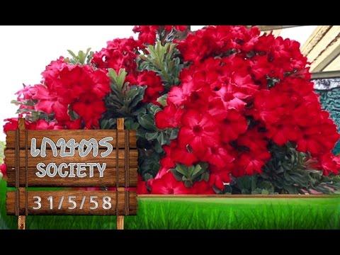 """เกษตร Society 31/5/58 : วิธีการดูแล """"ชวนชม"""" ให้ได้ผลผลิตที่ดี"""