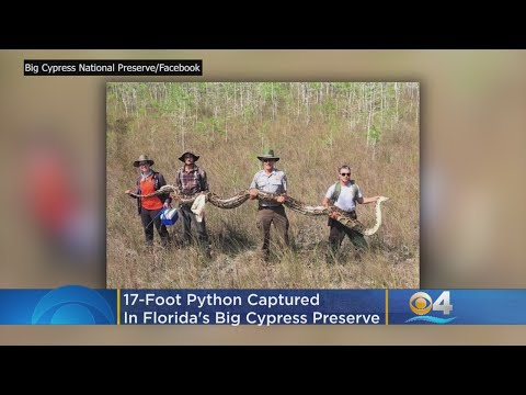 Eric Hunter - Record Setting Python Caught In Big Cypress Preserve