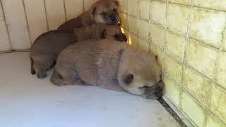 生後18日の山陰柴犬モモの子犬3兄妹。丸々コロコロです(笑)