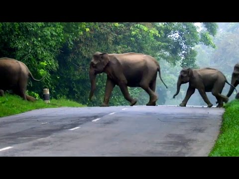 Elephants Cross The Road | Lands of the Monsoon | BBC