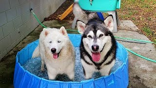 Southern Snow Dogs Cool Off In An Ice Filled Pool