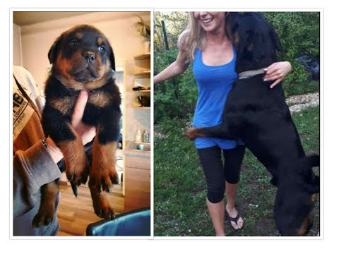 ROTTWEILER GROWING UP - 6 Weeks to 2 Years [1080p]
