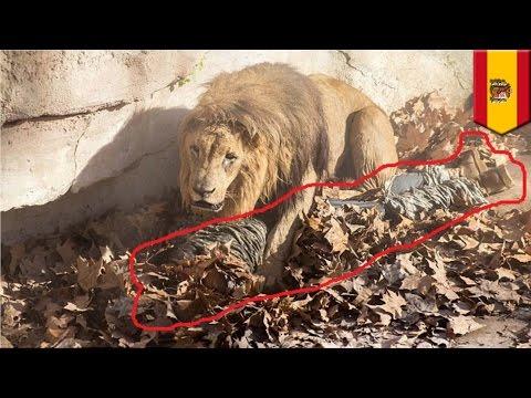 Неонацист прыгнул в вольер со львами в зоопарке Барселоны