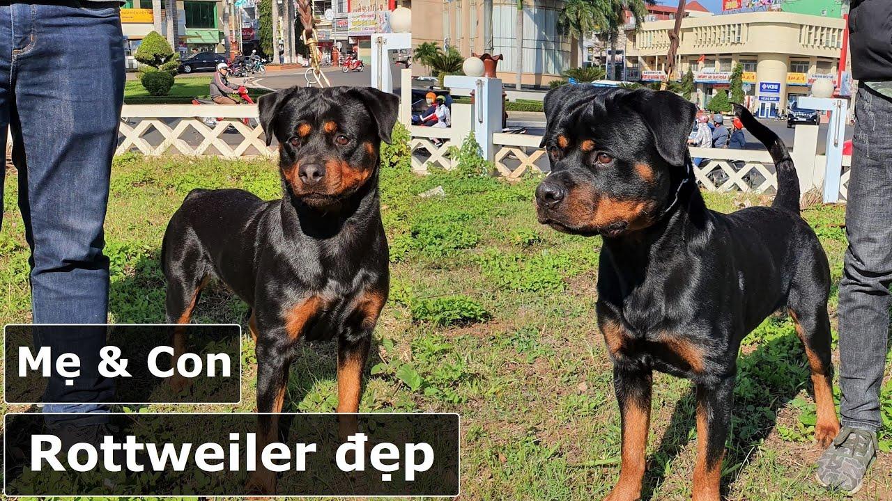 Chó Rottweiler đẹp Kontum|Mẹ con cùng đi Buôn Ma Thuột|Adorable Rottweiler Kata & son Abull Gervi