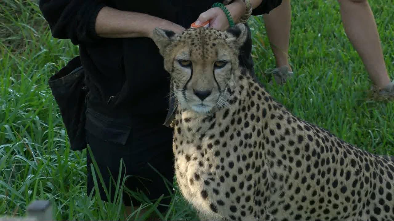 Download Cheetah runs full speed to chase down toy at San Diego Zoo Safari Park