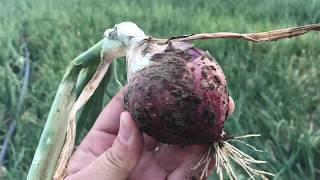 Soğan Kurşuni Küf, Mildiyö, Pembe Kök Çürüklüğü, Pix ve Signum, Potasyum Kullanımı