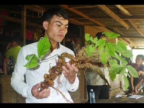 Ngoc Linh ginseng dug 100 years old weighing 1kg