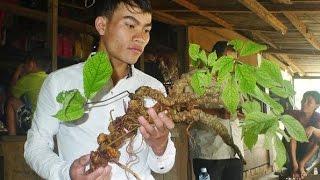Đào được củ sâm Ngọc Linh 100 năm tuổi nặng 1kg - [Tin mới 123]