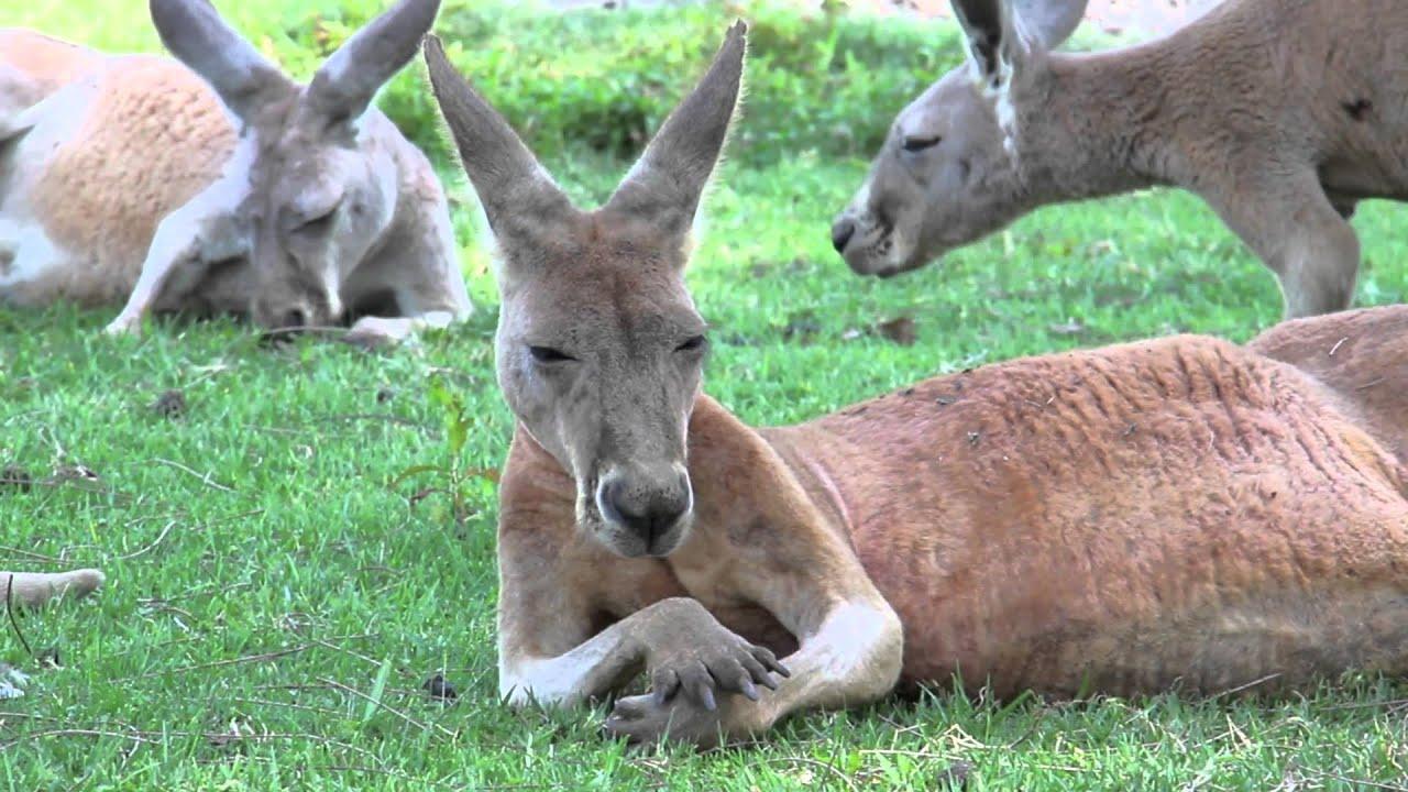 australian kangaroos youtube
