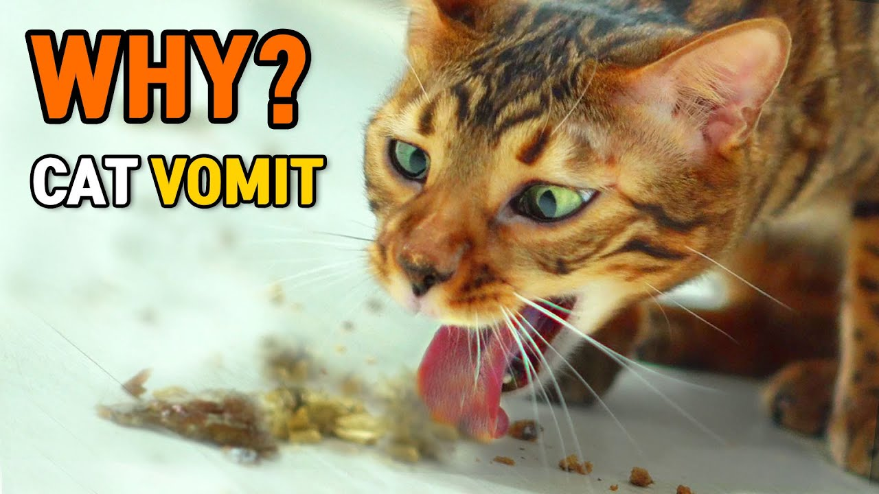 Why do Cats Throw up? Cat Vomit Tip 10ㅣDino cat information