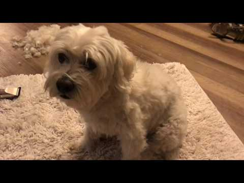Lhasapoo Dog Grooming At Home. Tip: Wait Until They Are Sleeping! :)