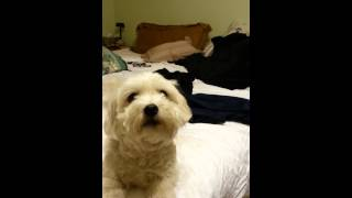 coton de tulear trys to talk her buddy into giving up his bone.