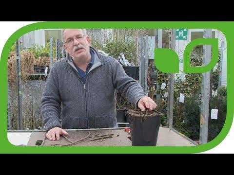 Feigen Vermehren - Wie Geht Das?