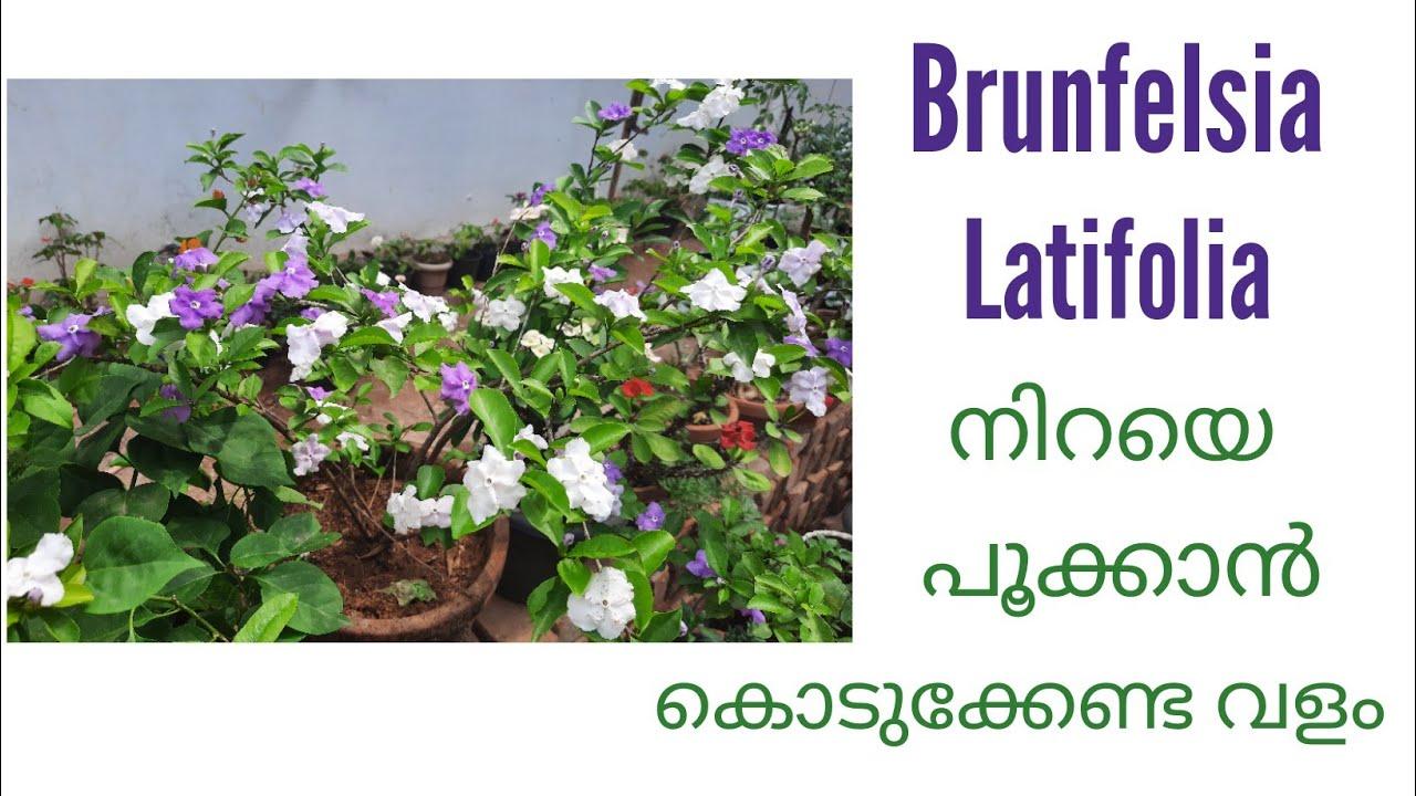 Brunfelsia latifolia നിറയെ പൂക്കാൻ/How to get more blooms in brunfelsia latifolia