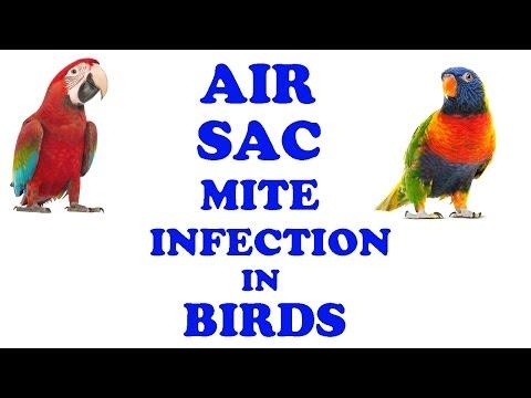 Air Sac Mite Infection In Birds | Birds Disease | Dr